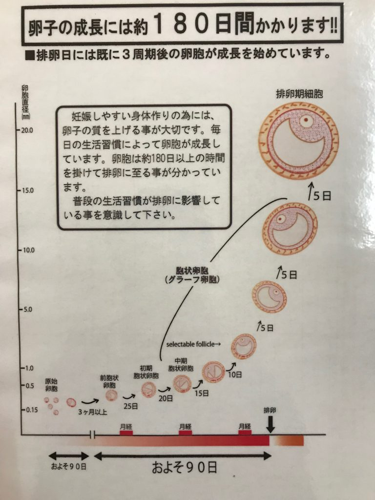 不妊鍼灸|卵胞の育ち